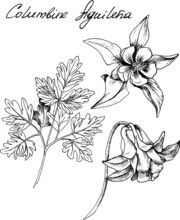 Hand-drawn Botanical Illustration Of Columbine Flowers. Each Element Is Isolated. Very Easy To Edit For Any Of Your Projects. Vector Illustration