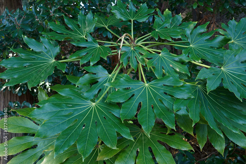 Fotografiet Glossy-leaf paper plant (Fatsia japonica)