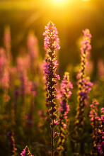 Close Up Lupin In The Golden Light At Sunset In A Field Close-up. Field Grasses All Around. Golden Hour. Beautiful Summer Floral Background, Lupine Flowers In The Meadow. Selective Focus