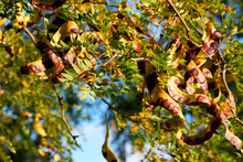 Acacia Pods On The Ground In The Fall. Acacia Trees In Late Autumn. Acacia Seeds Against