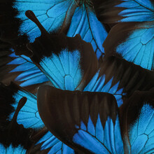 Beautiful Ulysses Butterfly Wings As Background, Closeup