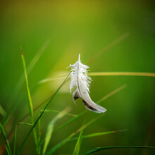 Lost White Bird Feather In The Garden In The Grass