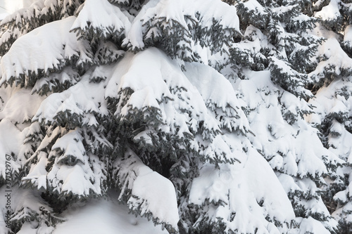 Winter snowy pine Christmas tree scene. Fir branches covered with hoar frost Wonderland. Winter is coming New year. Calm blurry snow flakes winter background with copy space. #377529767