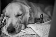 Black And White Photo Of A Sleeping Golden Retriever