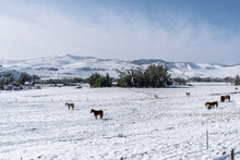 Horses Grazing In Field Covere...