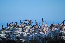 Pelicans In Flight And Standin...