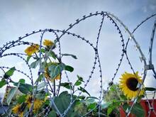 Beautiful Yellow Sunflowers Gr...