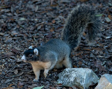 Sherman Fox Squirrel Stock Photo.  Sherman Fox Squirrel Foraging In Its Habitat And Environment With A Blur Brown Background Displaying Fur, Bushy Tail, Body, Head, Eye, Ears, Nose, Paws. Image.
