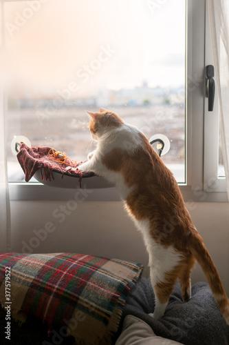 Obraz na plátně Gato blanco y marron intenta subir a una hamaca en la ventana, composicion verti