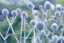 Globe Thistle Flowers Toned In...