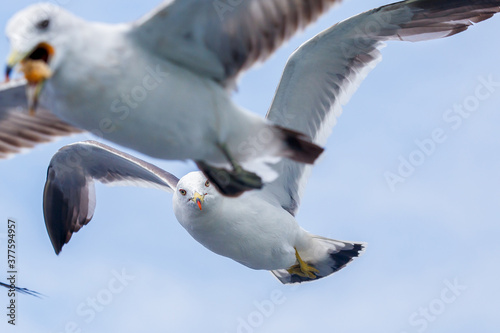Fotografering Hungry Pacific seagulls fly after the boat and catch bread crumbs