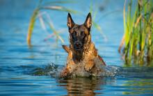 Belgian Shepherd Puppy Playing...