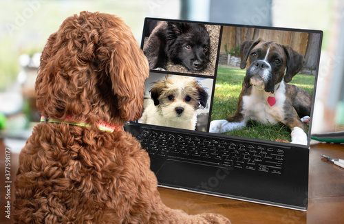 Back view of dog talking to dog friends in video conference. Group of dogs having an online meeting in video call using a laptop. Blurred and de-focused office background. Pets pretending to be human. © Petra Richli