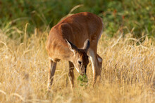 White-tailed Deer Fawn Foraging
