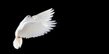 White Dove Flying Isolated On ...
