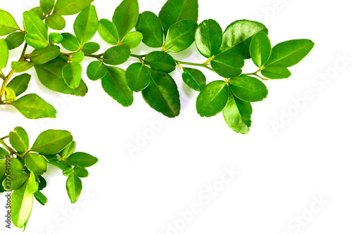 Obrazy zielone  the-bright-green-leaves-look-like-creepers-on-a-white-background-making-them-fresh-like-s