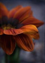 Beautiful Petals Of Gatsania F...