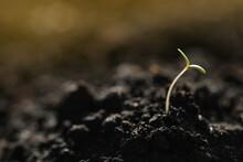 Young Vegetable Seedling Growi...