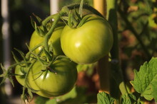 Tomatoes In The Process Of Ripening On The Plant.The Tomatoes Have A Growth Cycle That Last About Three Months.