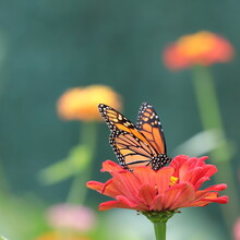 Monarch Butterfly (Danaus Plexippus) Sipping Nectar On Red Zinnia