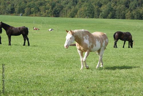 A pinto horse in a pasture Tapéta, Fotótapéta