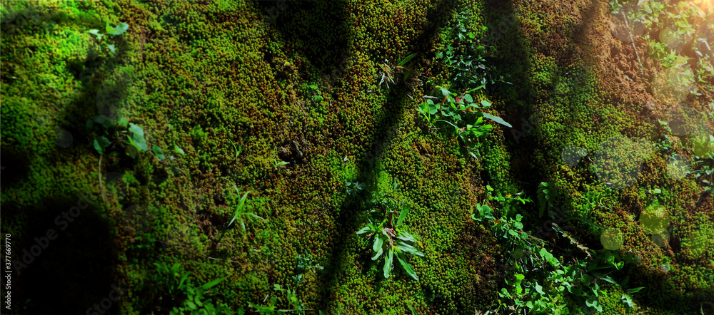Fototapeta Biodiversity in rain forest. Beautiful green moss on floor with plant biodiversity in rain forest. Green biodiversity in nature and beautiful Moss collection, Cover background.