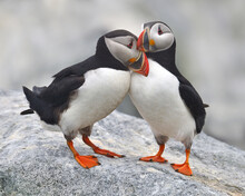 A Bonded Pair Of Atlantic Puffins In Courtship