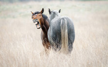 Funny Horse Neighing Closeup. ...