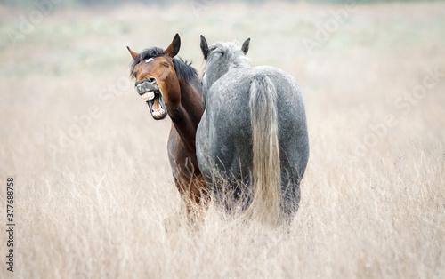 Funny horse neighing closeup. Two wild horses in dry steppe.