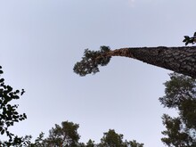 A Leaning Pine Tree. Photo Fro...