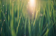 Close Up Of Green Grass Leaf And Sun With Dew Drops And Bokeh