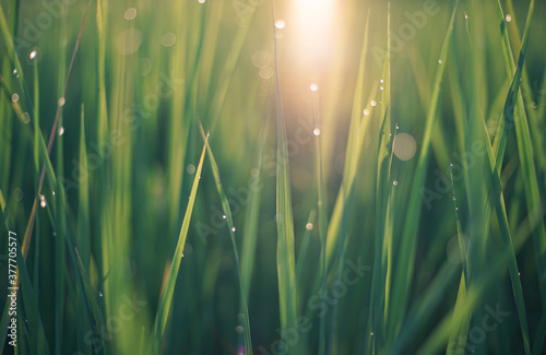 Fotografia close up of green grass leaf and sun with dew drops and bokeh