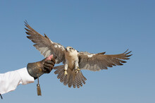 Peregrine Falcon Landing  On A...