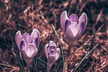 Beautiful Spring Crocuses Bloo...