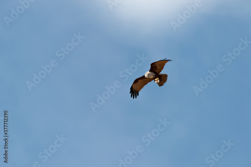 Bird of prey in flight isolated in blue background.Brahminy kite eagle with spreading red wings flying and soaring over andaman coastline with octopus in claw , low angle view. #377712390
