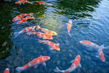 岡山後楽園の池の鯉