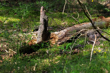 Decaying Trunk Of A Fallen Tree Is On The Ground