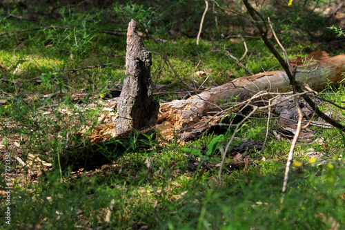 Fotografía Decaying trunk of a fallen tree is on the ground