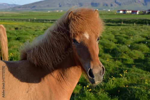 Icelandic horses in Iceland playing on the ground Canvas Print