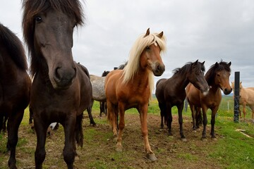 Icelandic horses in Iceland playing and loving
