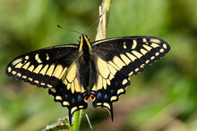 Close-up Of A Pale Swallowtail...