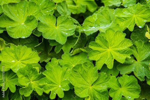 Obraz na plátně Leaves of Alchemilla mollis, garden lady's-mantle..
