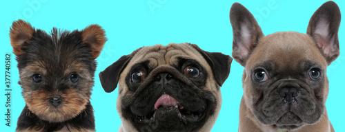 Fototapeta funny 3 dogs team are making faces obraz