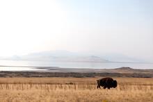 Buffalo Grazing In The Field