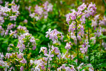 Botanical Collection Of Useful Plants, Blossom Of Saponaria Officialis Or Soapwort