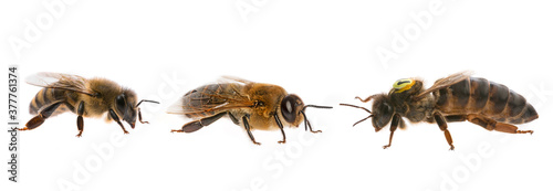Foto bee queen mother and drone and bee worker - three types of bee (apis mellifera)