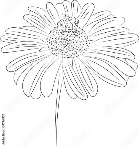 Fényképezés daisy flower