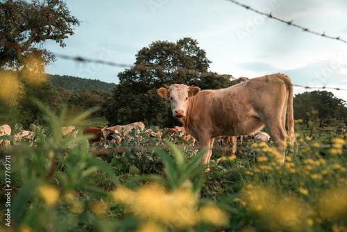 Paisaje con vacas, flores y vegetación del campo. Wallpaper Mural