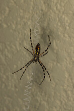 A Black And Yellow Garden Spider, Argiope Aurantia, In Its Web, Ventral View