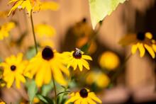 Bee On A Black Eyed Susan